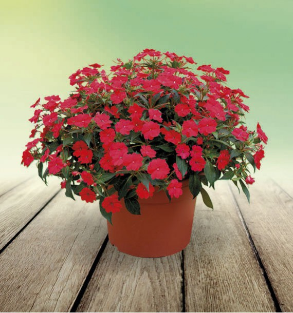 SUNPATIENS® VIGOROUS RED