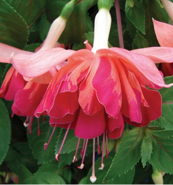 FUCHSIA MARBELLER ORANGE KING