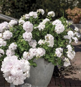 GERANIUM LIERRE DOUBLE ATLANTIC WHITE®