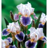 IRIS GERMANICA AMERICAN PATRIOT