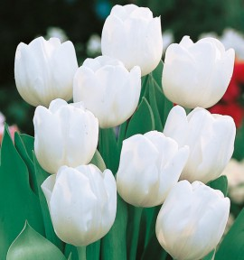 TULIPE WHITE MARVEL