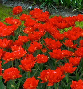 TULIPE DOUBLE HATIVE LARGO