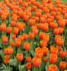 TULIPE WORLD'S FAVOURITE