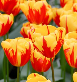 TULIPE TRIOMPHE HOLLAND QUEEN