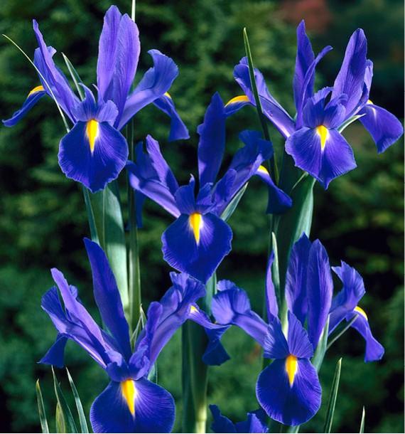 IRIS DE HOLLANDE BLUE STAR