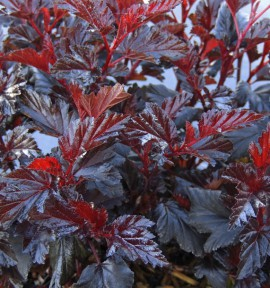 PHYSOCARPUS ALL BLACK® 'Minall2' cov
