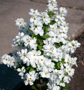 EXOCHORDA MAGICAL® SPRINGTIME