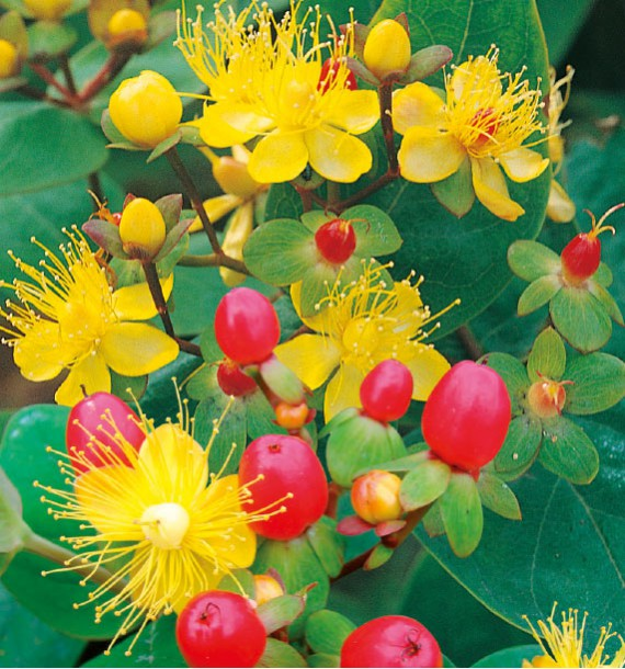 HYPERICUM MAGICAL® RED FAME