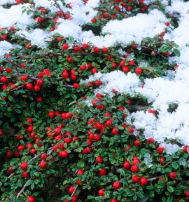 COTONEASTER GREEN CARPET