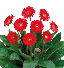 GERBERA GARVINEA® SWEET LOVE
