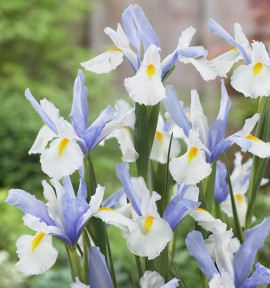IRIS DE HOLLANDE SILVERY BEAUTY