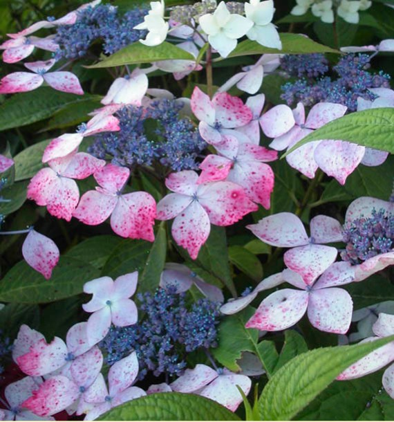 HORTENSIA GRAYSWOOD