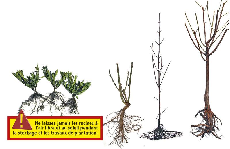 déballez les racines nues