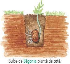 profondeur plantation bulbes