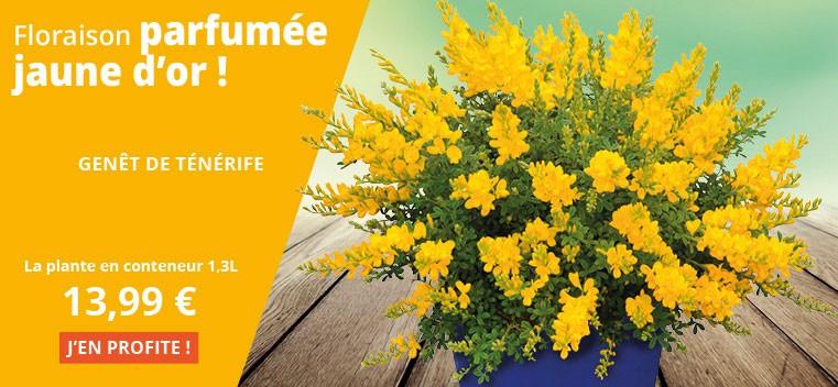 Floraison parfumée jaune d'or !