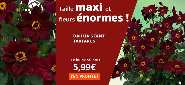 Taille maxi et fleurs énormes !