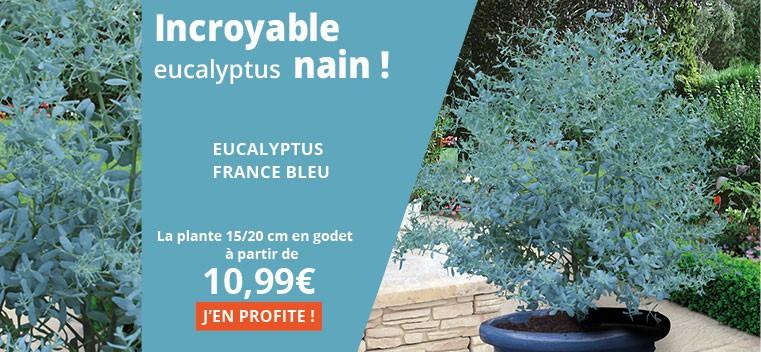 Incroyable eucalyptus nain !