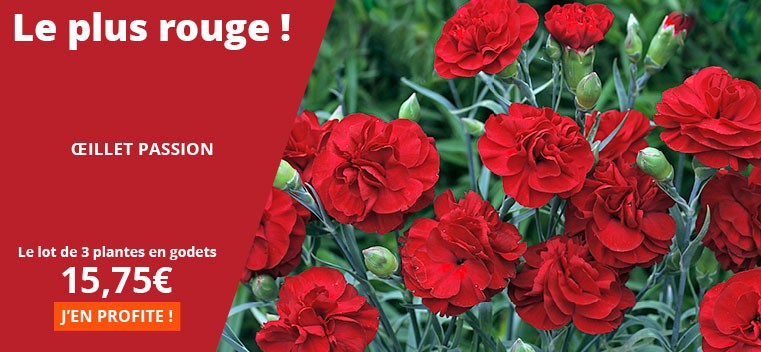 Willemse France 3 Fuchsias Riccartonii Rouge