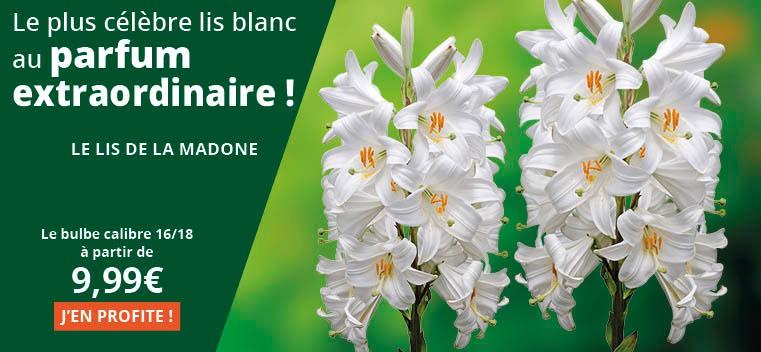 Le plus célèbre lis blanc au parfum extraordinaire !