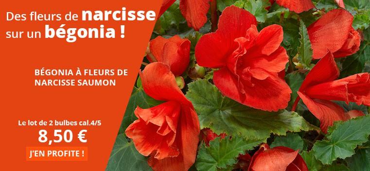 Des fleurs de narcisse sur un bégonia !
