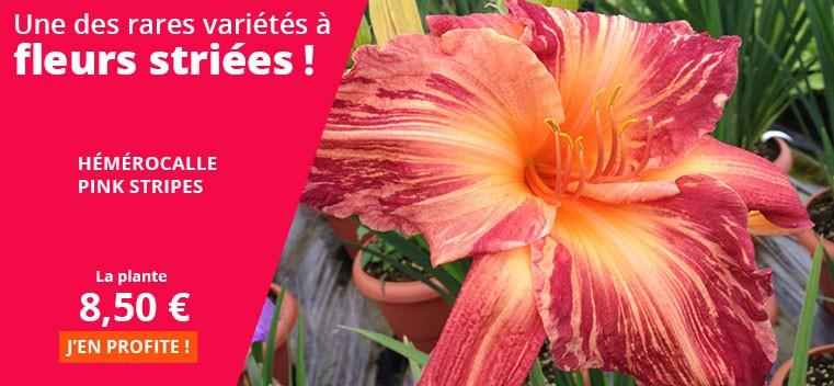 Une des rares variétés à fleurs striées !