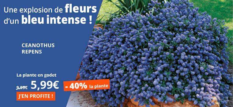 Une explosion de fleurs d'un bleu intense !