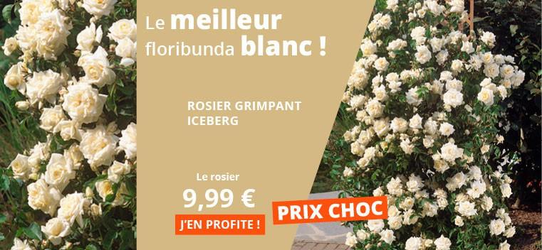 Le meilleur floribunda blanc !