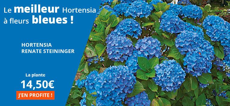 Le meilleur hortensia à fleurs bleues !