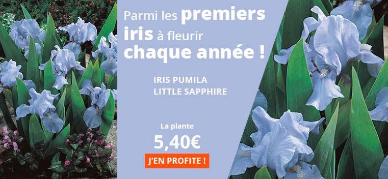 Parmi les premiers iris à fleurir chaque année !