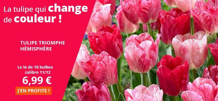 La tulipe qui change de couleur !