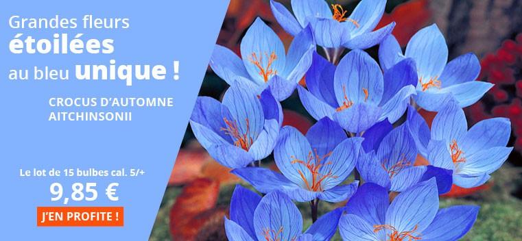 Grands fleurs étoilées au bleu unique !