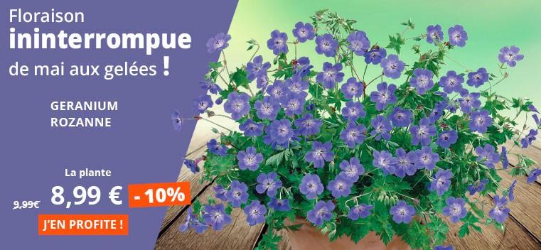 Floraison ininterrompue de mai aux gelées !