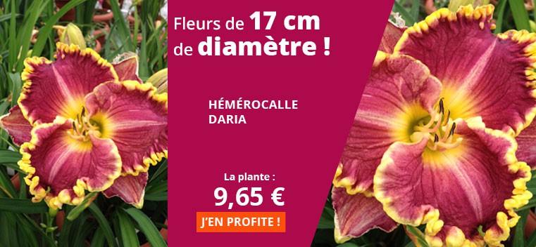 Fleurs de 17 cm de diamètre !